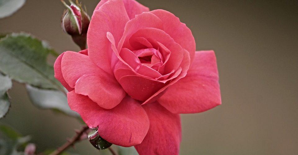 A rózsa harmóniát teremt